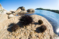 Live sea urchins lie on a rock by the fish eye lens Stock Photos