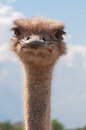 Live smiling ostrich Royalty Free Stock Photo