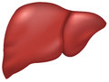 Liver of healthy person