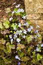 Liverwort in spring close up Royalty Free Stock Photos