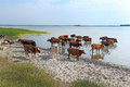 Livestock on the bank of the lake in a sunny day Stock Photography