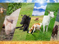 Livestock collage Royalty Free Stock Photo