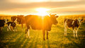 Livestock grazing at sunset Royalty Free Stock Photo