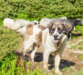 Livestock guardian dog in Carpathian Mountains Royalty Free Stock Photo