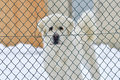 Livestock guardian dog Royalty Free Stock Photo