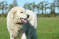 Livestock guardian dog standing on meadow Royalty Free Stock Images