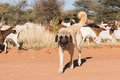 Picture : Livestock guarding dog  meat