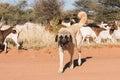 Livestock guarding dog Royalty Free Stock Photo
