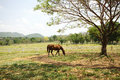 Livestock a horse eating grass in farmland under the tree Stock Image