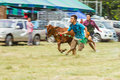Livestock show prachuapkhirikhan thailand december tradition cow racing on fair of competition the animals on december in pranburi Stock Images