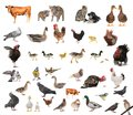 Livestock on a white background Stock Image