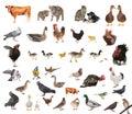 Livestock Royalty Free Stock Photo