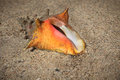 Living conch with animal inside sits on beach sand in st thomas the virgin islands Royalty Free Stock Photography