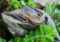 Lizard. Royalty Free Stock Photo