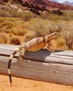 Lizard basking in the desert sun Royalty Free Stock Photography