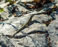 Lizard basking in the sun closeup of a little on rocks Royalty Free Stock Photo