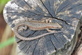Lizard basking in the sun, lying Royalty Free Stock Photo