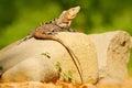 Lizard Black Iguana, Ctenosaura similis, sitting on stone. Wildlife animal scene from nature. Animal in Costa Rica. Summer day wit Royalty Free Stock Photo