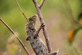 Lizard a in the branches waiting for hunting Royalty Free Stock Photography
