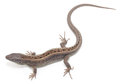 Lizard brown on white background Stock Photo