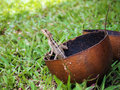 Lizard in a calabash Royalty Free Stock Images