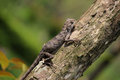 Lizard a camouflage on the trunk waiting for hunting Royalty Free Stock Photography