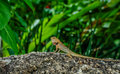 Lizard chilling on the rock thailand july Stock Photos