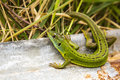 The Lizard Royalty Free Stock Photo