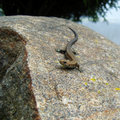 Lizard crawling on rocks. Stock Photos