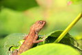 Lizard in forest a close up photo of a with brown skin Royalty Free Stock Images