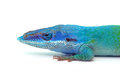 Lizard gecko isolated on white Royalty Free Stock Photo