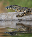 Lizard Goanna balance on log Stock Photography