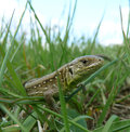 Lizard on the green grass summer basking in sun Stock Photo