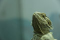 Lizard in Haifa Zoo Royalty Free Stock Photo