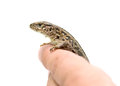 Lizard on the human hand Stock Image