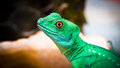 Lizard iguana Royalty Free Stock Photo
