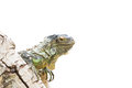 Lizard iguana on rock isoalted white background Stock Images