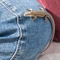 Lizard on jeans blue background Royalty Free Stock Photos