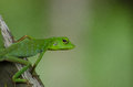 Lizard kutai national park portraits of a green in kalimantan indonesia Royalty Free Stock Images