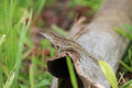 Lizard on a Log Royalty Free Stock Photo