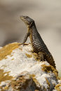 Lizard lookout on rock at penguin colony in south afric Royalty Free Stock Photo