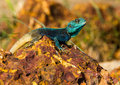 A lizard named blue headed tree agama in uganda on the shores of lake victoria he would bask on this rock every morning whilst i Stock Images