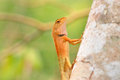 Lizard in nature iguana Royalty Free Stock Images