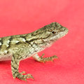 Lizard north carolina eastern fence sceloporus undulatus on red background they are well camouflaged against the back of trees Royalty Free Stock Photo