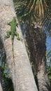 Lizard In Palm Tree