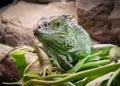 Lizard posing green iguana to the photographer Royalty Free Stock Image