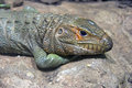 Lizard reptile scaly nostril reptile color skin claws Stock Images