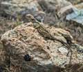 Lizard on rock agama stellio lying in akamas national park cyprus Royalty Free Stock Image