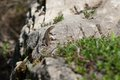 The lizard is on rock basking during sunny day Stock Photo