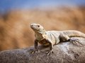 Lizard on the rock catching sun a Stock Image